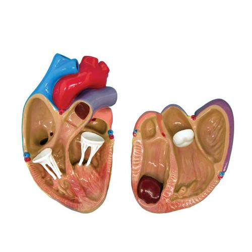 Heart Anatomical Model Mini set