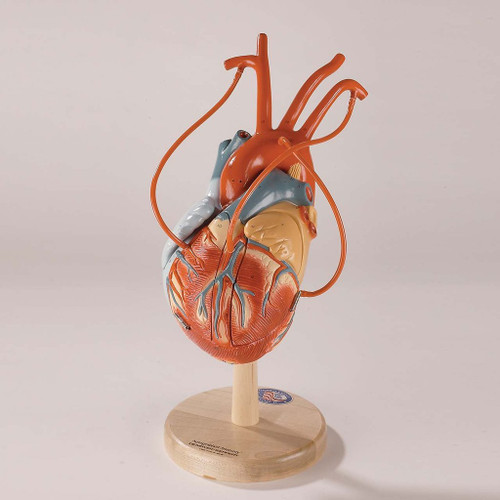 Heart  Anatomical Mode