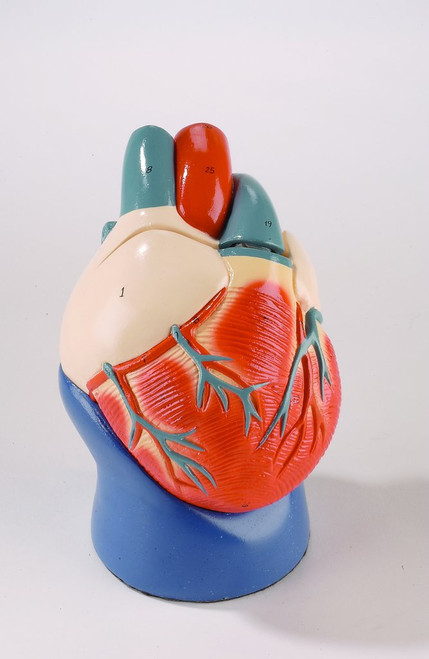Life-Size Heart Anatomical Model Non Breakable