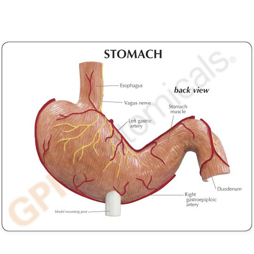 Stomach Model Description Card