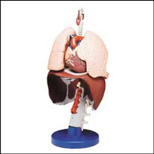 Respiratory Organs Anatomical Model