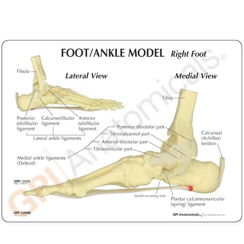 Foot and Ankle Anatomical Model Description Card