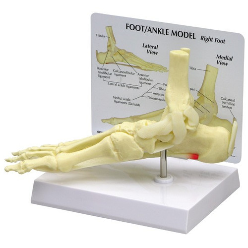 Foot and Ankle Anatomical Model