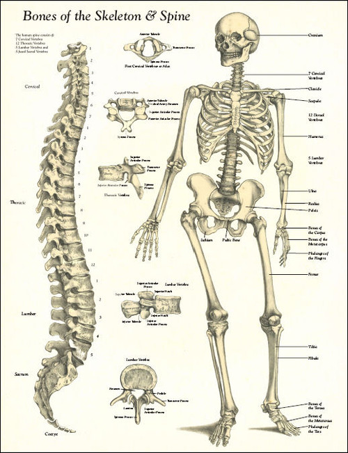 Bones of the Skeleton and Spine Poster