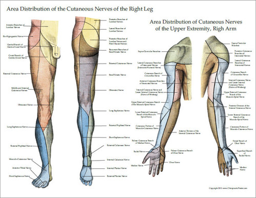 Cutaneous innervation of the upper and lower extremities