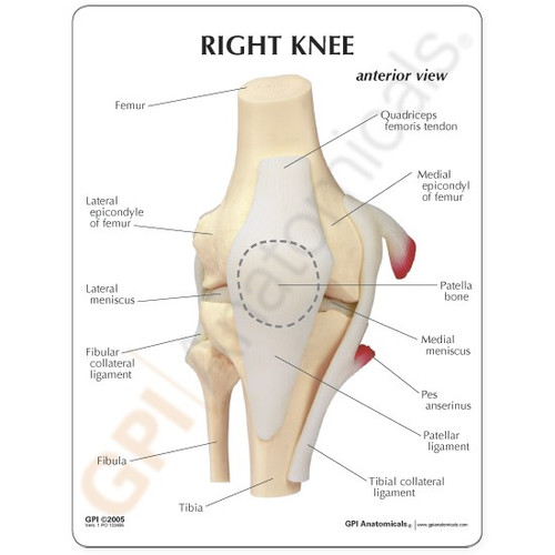 Knee Anatomical Model Description Card