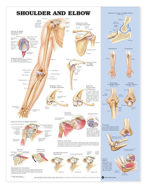 Shoulder and Elbow Poster