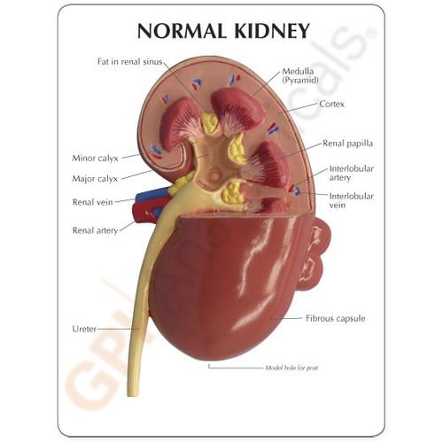 Kidney Model Description Card