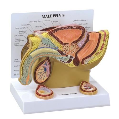 Male Pelvic  Model