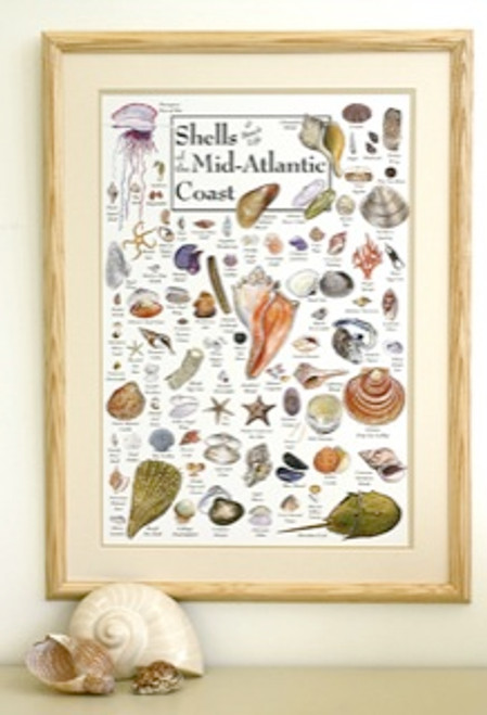 Shells of the Mid-Atlantic Coast Poster