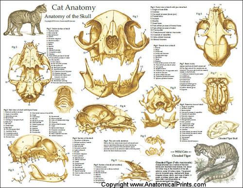 Feline Skull Anatomy Poster