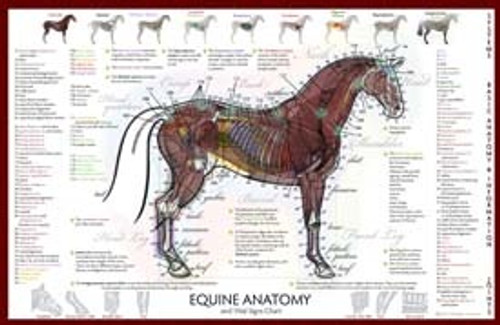 Equine Anatomy / Vital Signs Poster