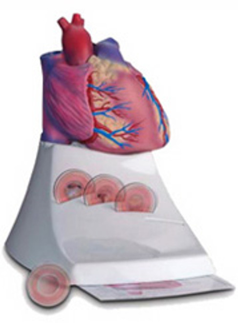 Model of Heart Life Size