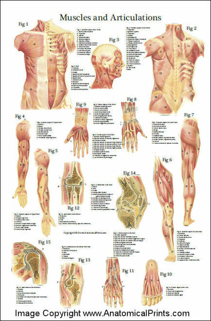 Muscles and Articulations Chart
