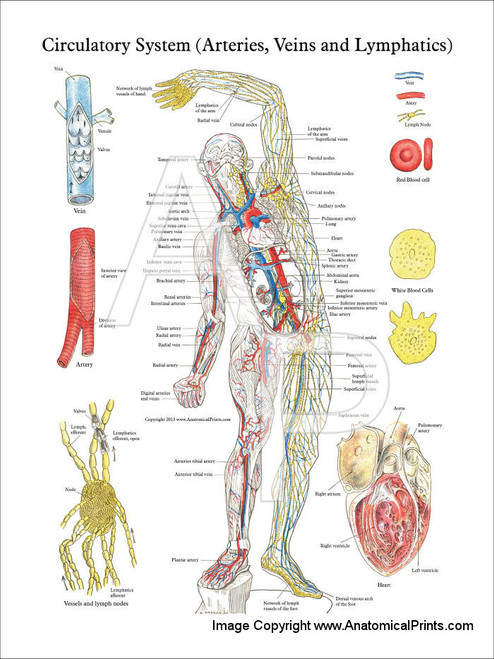 Vascular System Anatomy Posters Clinicalcharts Com