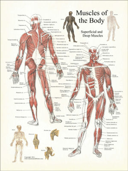 Muscles of the Body Poster