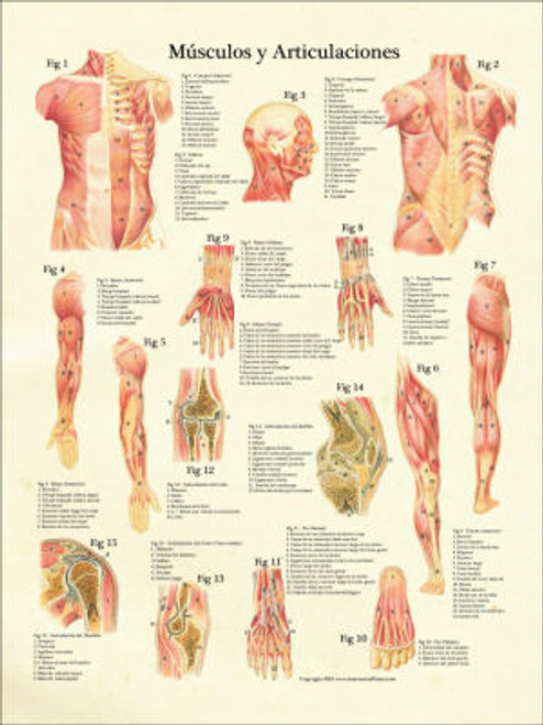Muscular System in Spanish Poster