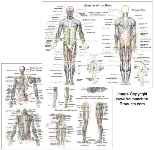 Muscle Anatomy Chart set