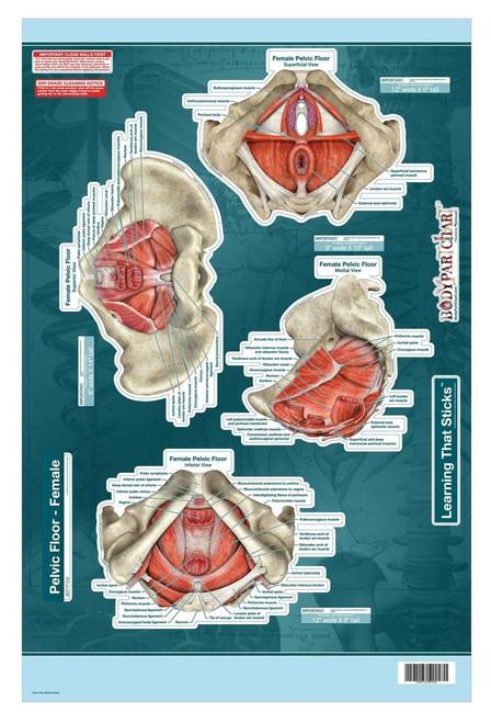 Female Pelvic Floor Poster