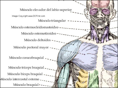 Musculo Anatomia Poster-Spot view