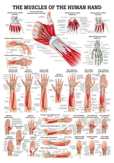 Human Hand Poster