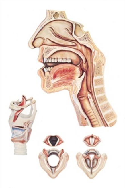 Speech Organs Anatomical Poster
