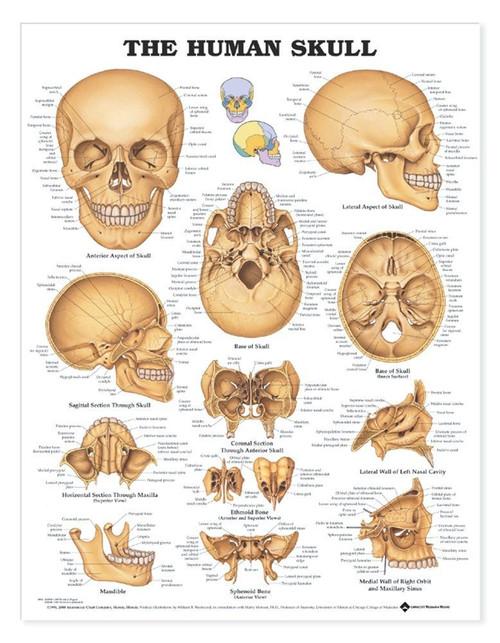 Skull Anatomical Chart
