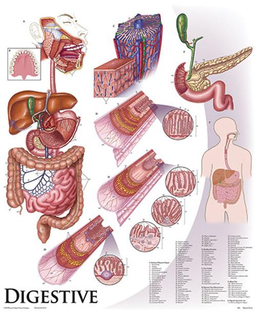Human Physiology Anatomy Chart Series- with Tripod Base
