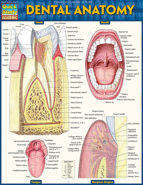 Dental Teeth Anatomy Chart