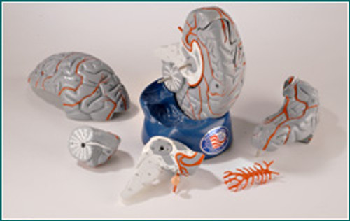 Brain Anatomical Model-Disassembled