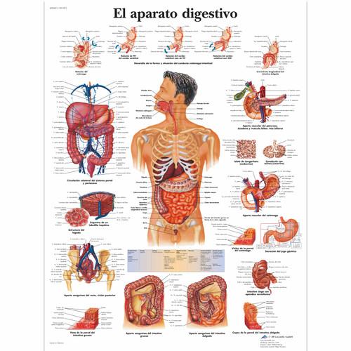 El aparato digestivo Chart