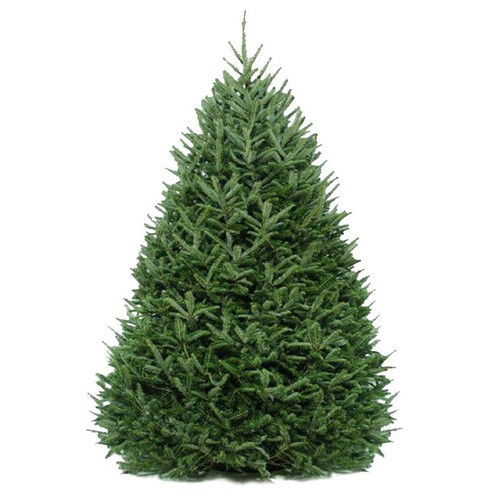 Dutchman Tree Farm Fresh Cut Christmas Tree - Fraser Fir (Available for In Store Pick Up ONLY)