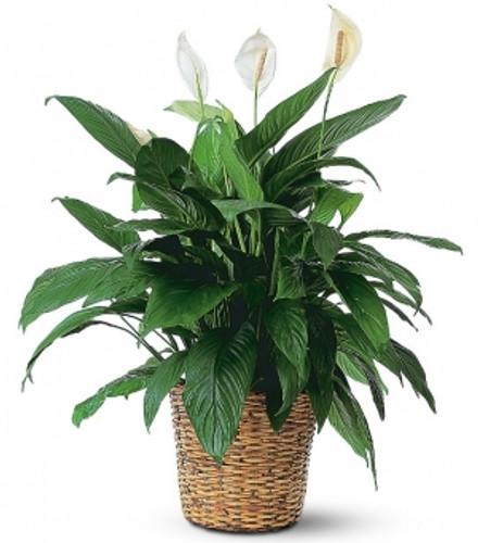 Medium Peace Lily