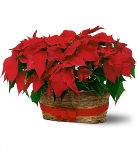 Poinsettia Duo