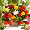 Begonia Cascade Pendula Mixture