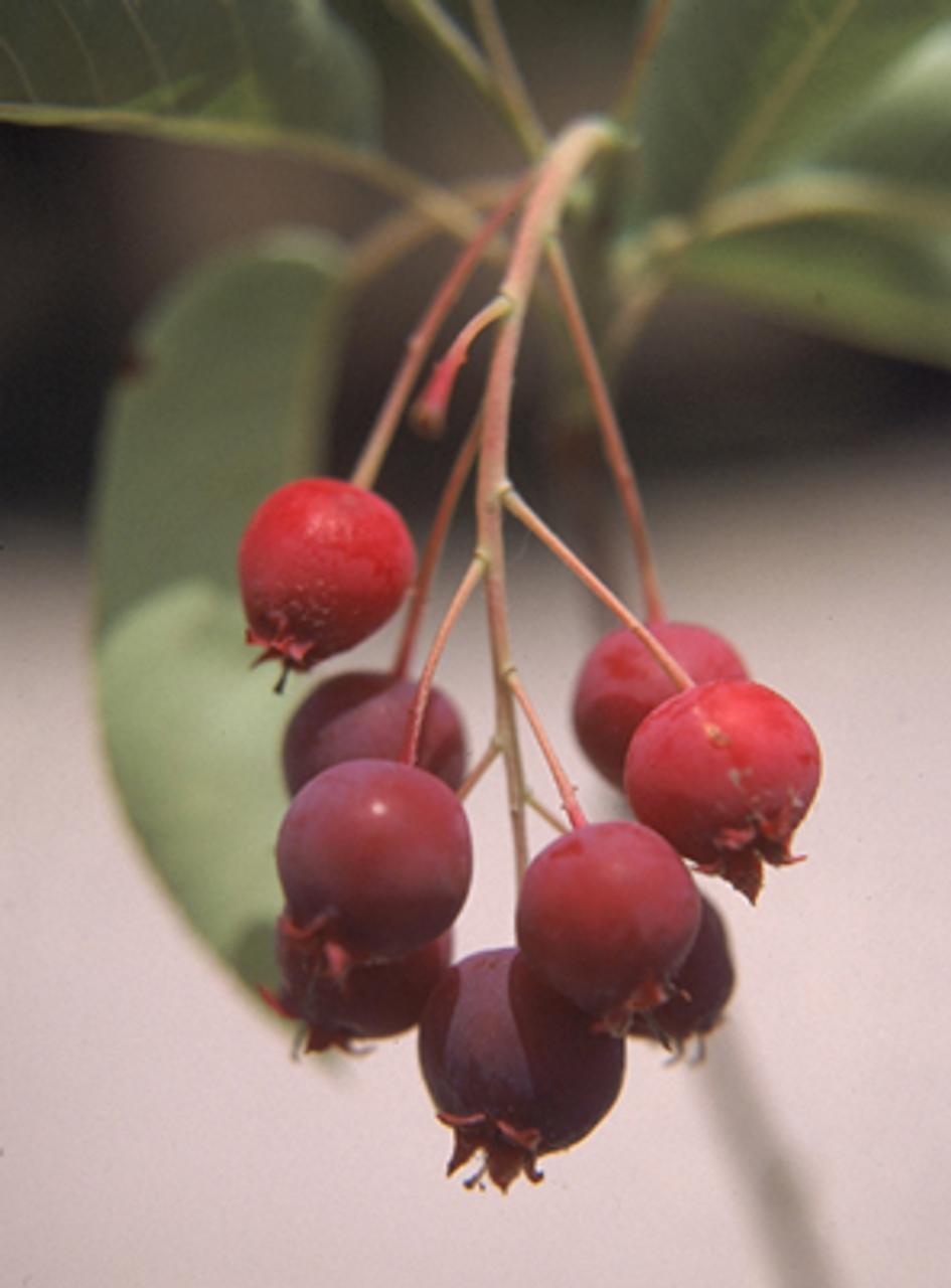 Serviceberry Tree Square Pot