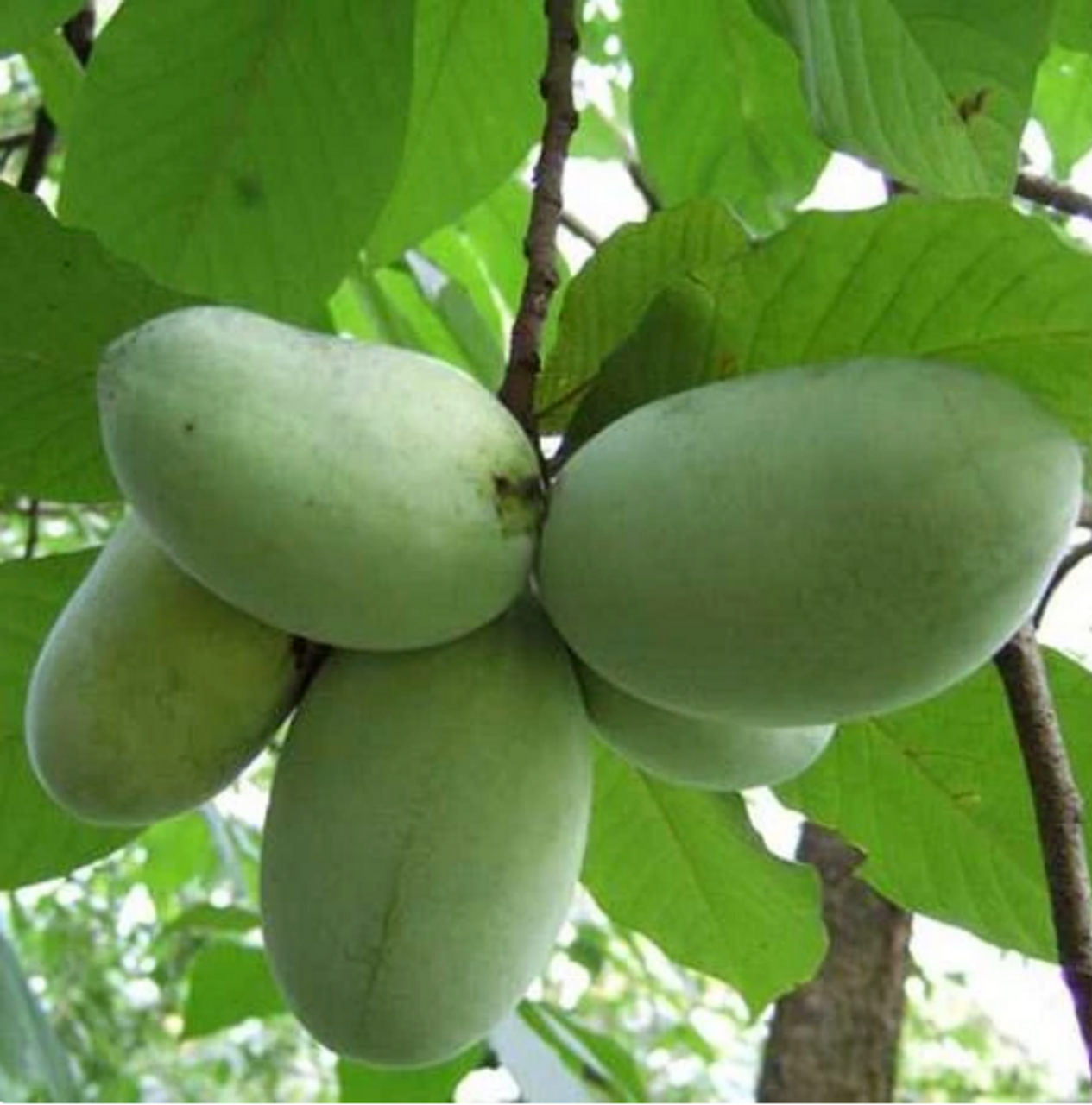 Paw Paw Tree Two Year 1 Gallon