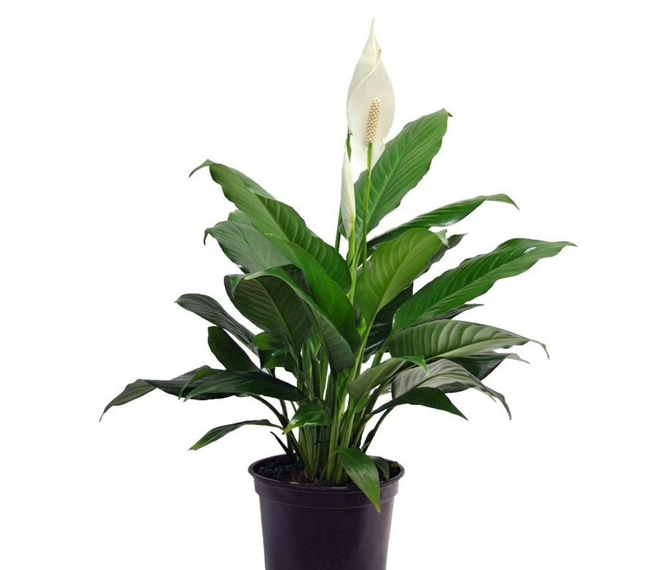 Peace lilies are indisputably terrific as houseplants. Small varieties look attractive on a tabletop and bigger ones can occupy a nice-sized spot on the floor. They filter more indoor pollutants than most other plants, so are great for bedrooms or other frequented rooms.