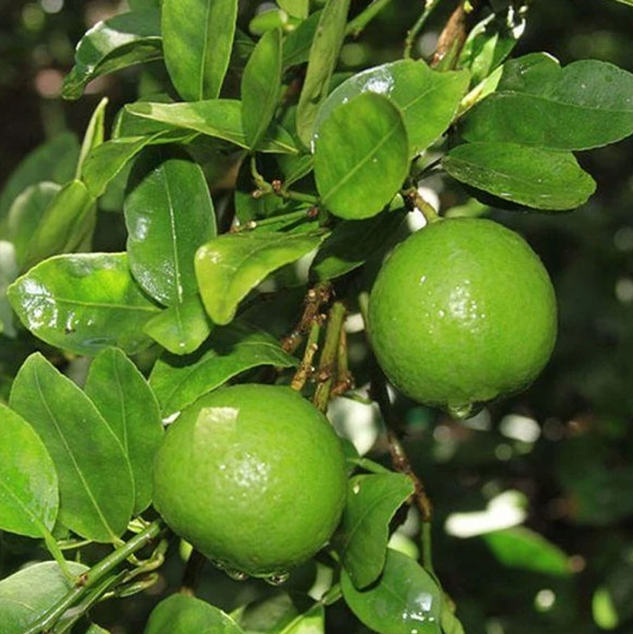 The Key lime is smaller, seedier, has higher acidity, stronger aroma, and thinner rind than the Persian lime (Citrus × latifolia). The Key lime is valued for its unique flavor compared with other limes. The name is derived from its association with the Florida Keys, where it is best known as the flavoring ingredient in Key lime pie.