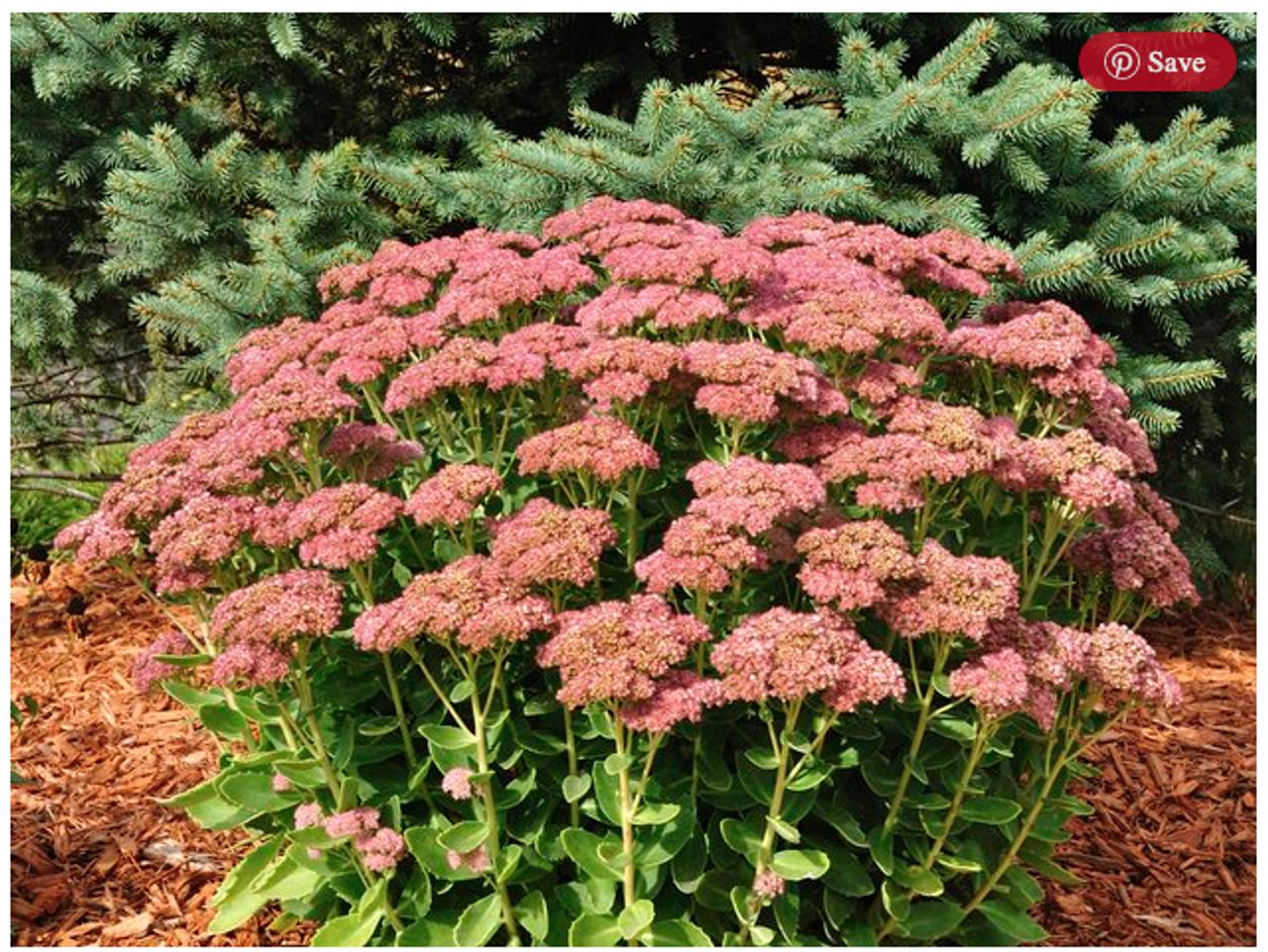 Stonecrop Autumn Joy Sedum 6 Growing Trade Pet Plant