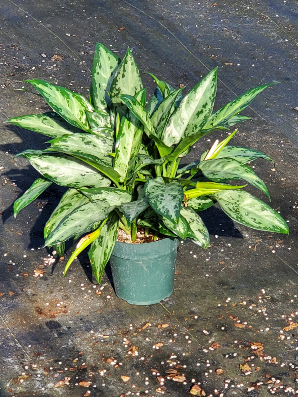 Aglaonema Mystic Marble 10 Growing Trade Pet Plant