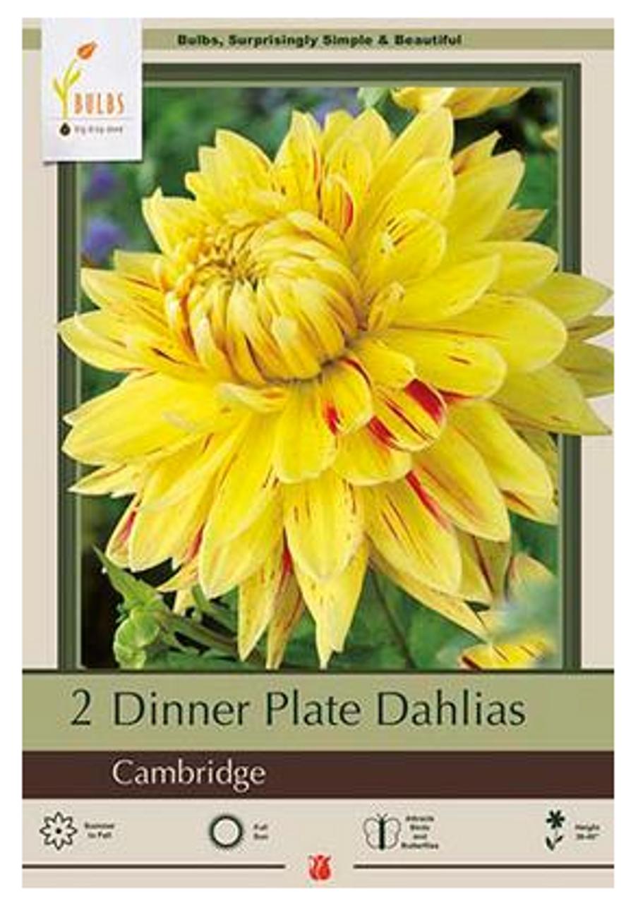 Dahlia Dinner Plate Cambridge 2 Bulb Pack