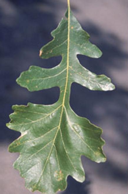 Bur oak Tree Square Pot