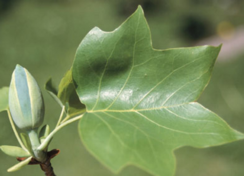 Tulip Poplar Tree 5 Gallon