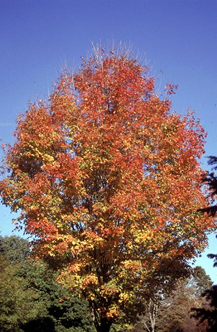 Sugar Maple Tree 5 Gallon