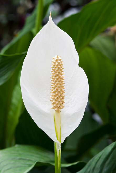 Peace Lily- Spathiphyllum 6""
