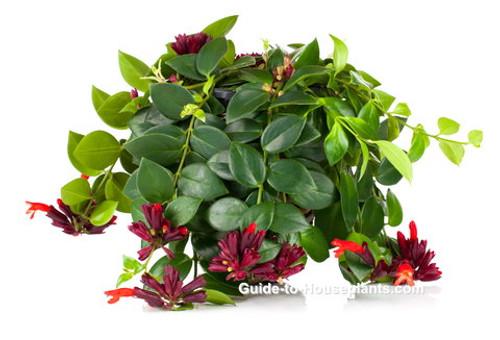 "Lipstick Plant HB (Aeschynanthus radicans) 6"""
