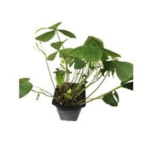 "Shamrock Plant (Oxalis) Green 4"""