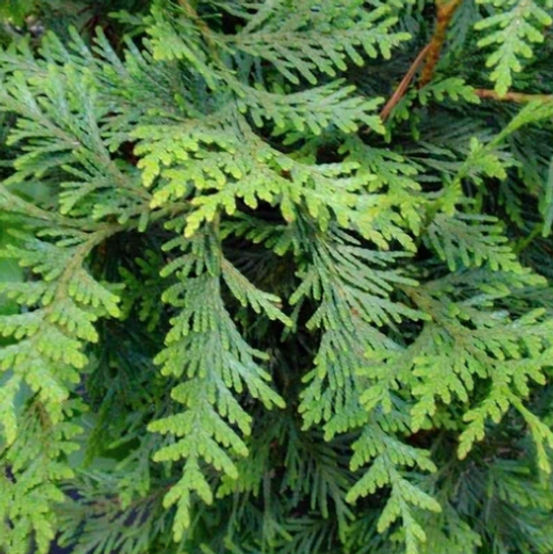 "Green Giant Arborvitae Thuja 6"" (two year)"