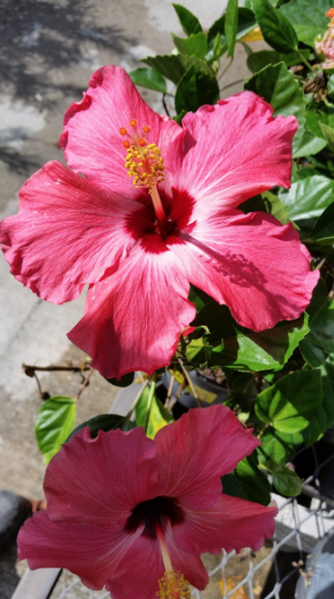 "Hibiscus Pick Flowered ""Painted Lady"" 10"""